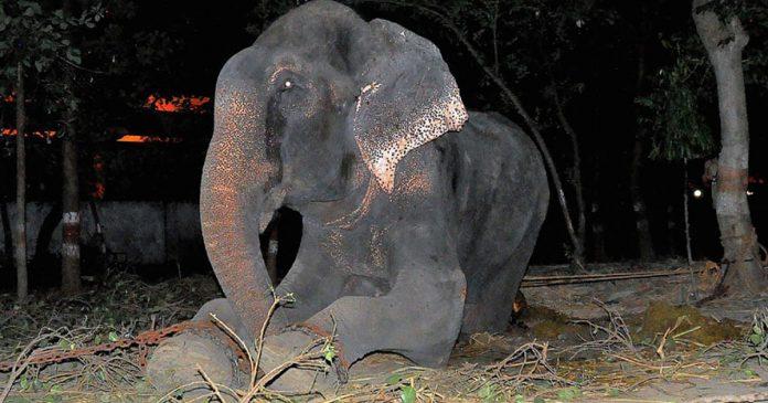 Elefante llora al ser rescatado después de 50 años