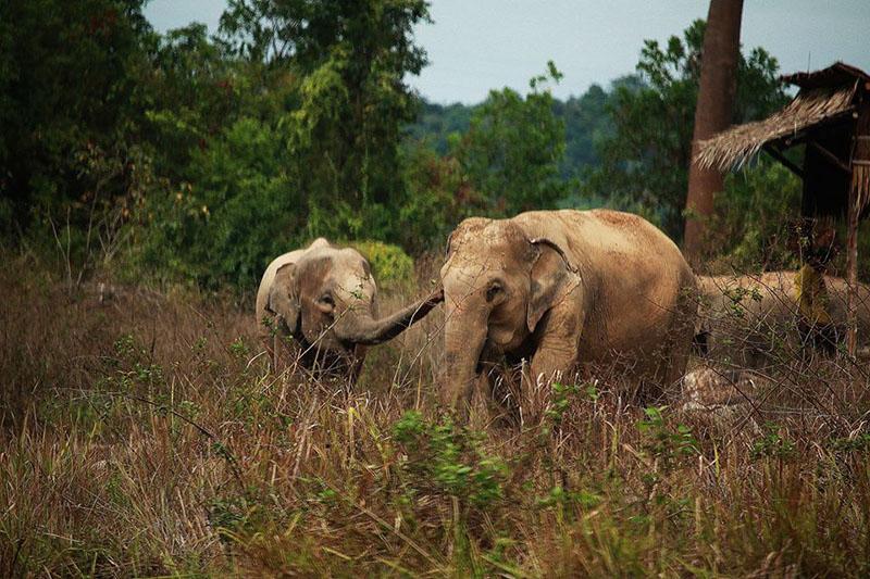 Elefantes en peligro en Tailandia