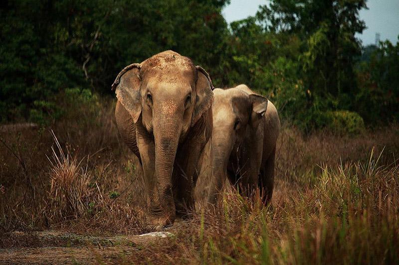 Elefantes tienen riesgo de morir