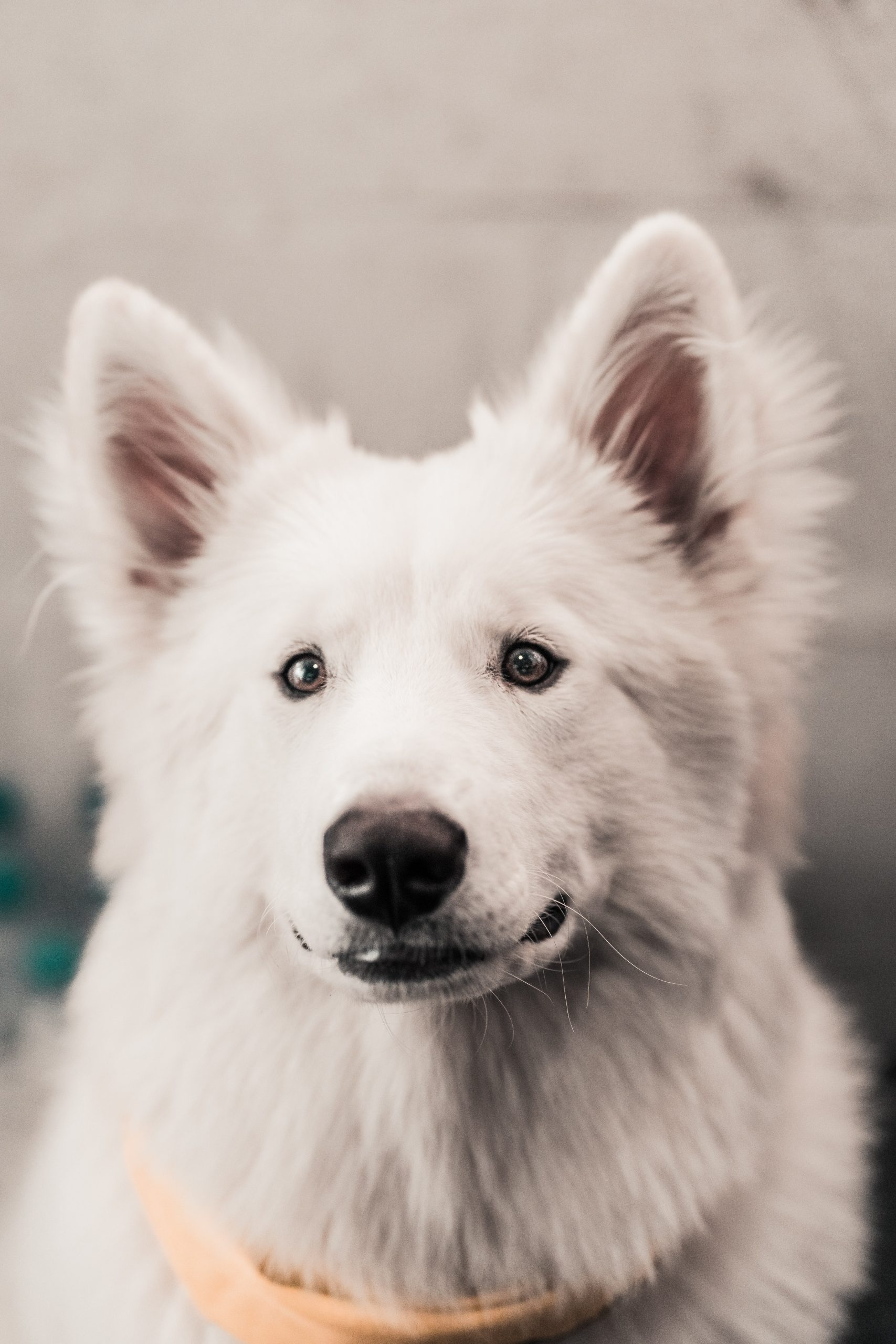 perro Esquimal canadiense
