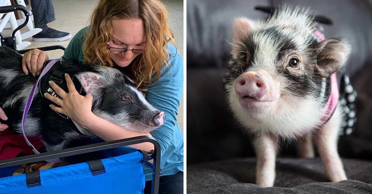 Cerdo de terapia con un gran corazón