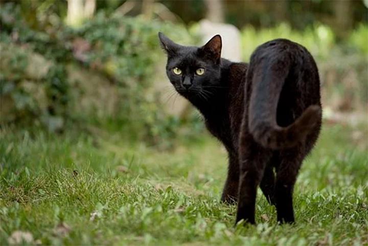Gatos negros utilizados