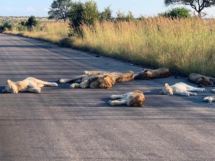 Leones duermen en carretera