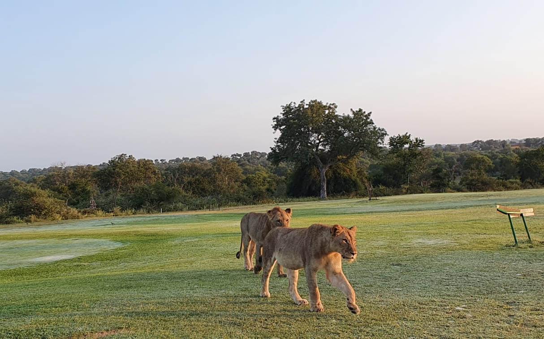 Leones en campo de golf