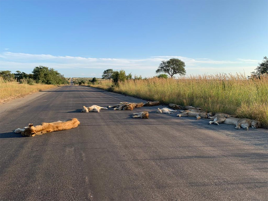 Leones toman siesta