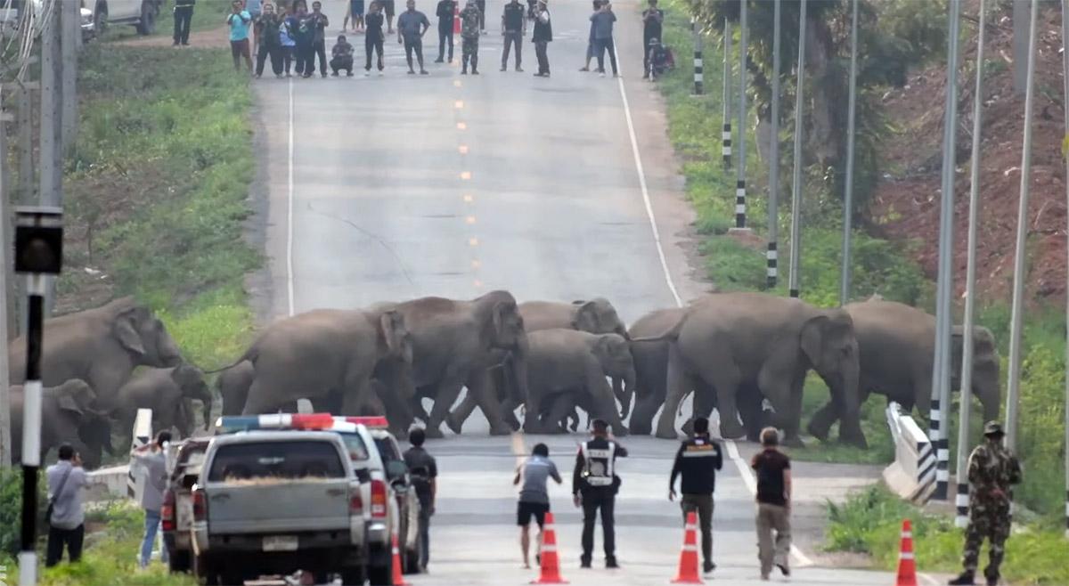 Manada de 50 elefantes cruzan tranquilamente una carretera en Tailandia