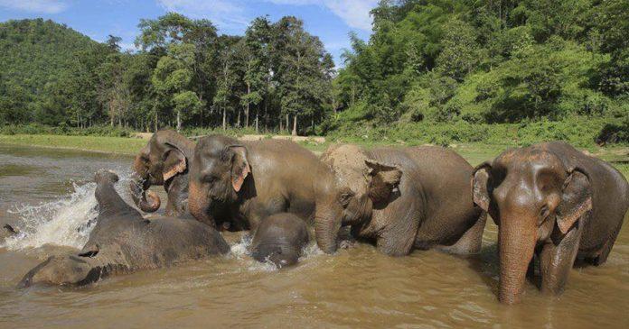 Mil elefantes podrían morir de hambre debido al impacto del coronavirus