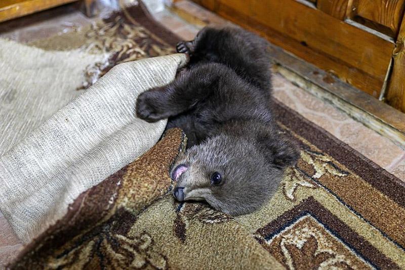 Osezno jugando en la alfombra