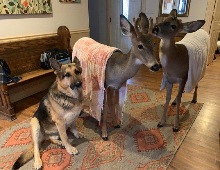 Perro cuida a cervatillos heridos