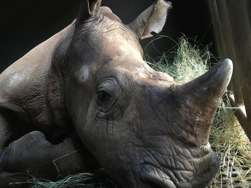 Rinocerontes en peligro