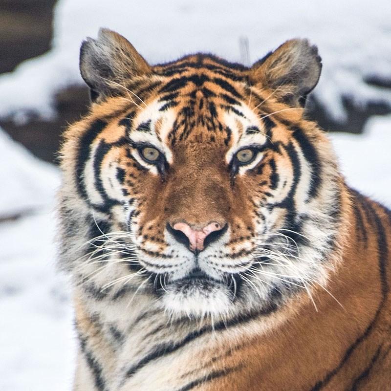 Tigre Bronxzoo