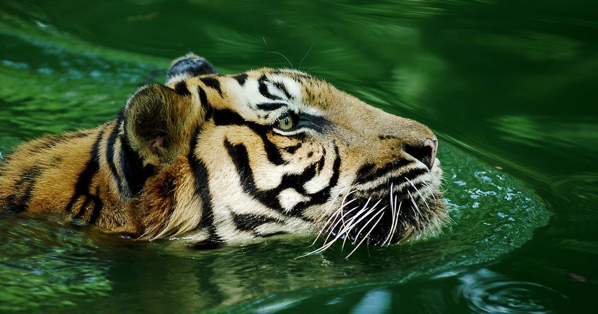 Tigre del Zoológico del Bronx da positivo para Covid-19