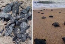 Tortugas marinas en peligro de extinción nacieron en una playa desierta