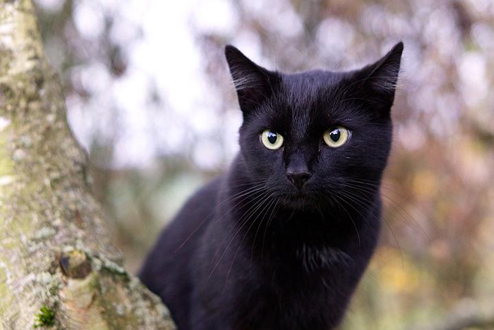 Gatos negros usados como remedio