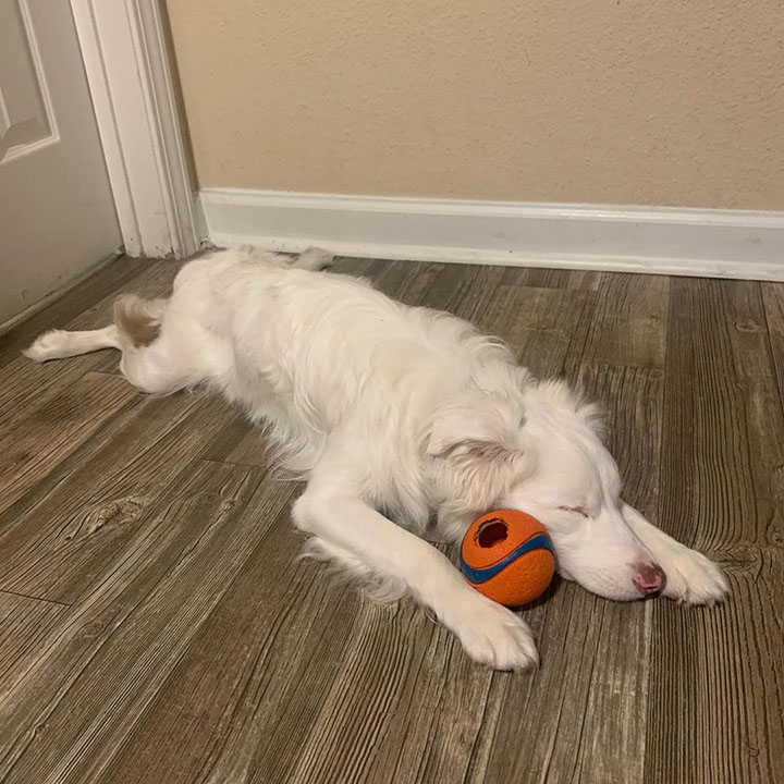 chico muestra como despierta a su perrita ciega y sorda