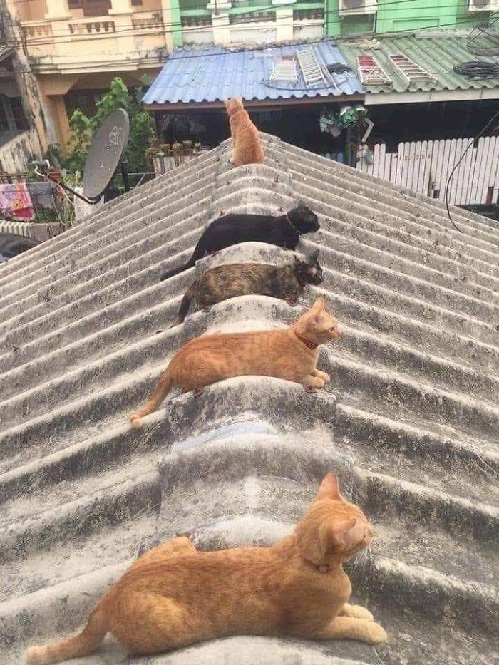 gatos cumplen las normas sociales por la pandemia