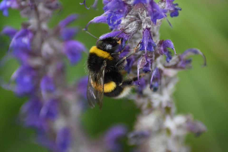Abejorro en flores violetas