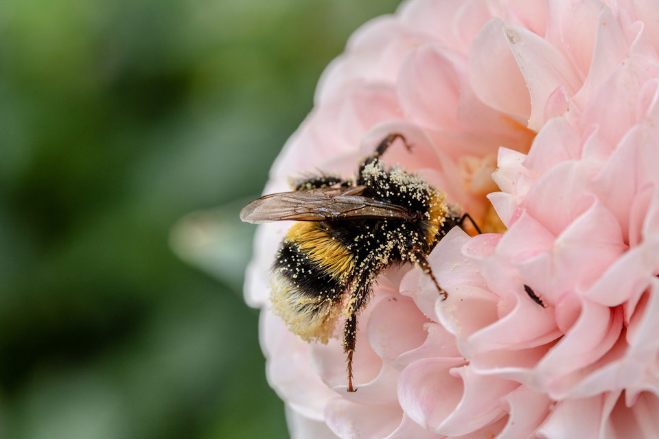 Abejorro en linda flor