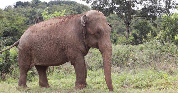 Elefanta Mara estuvo 50 años cautiverio