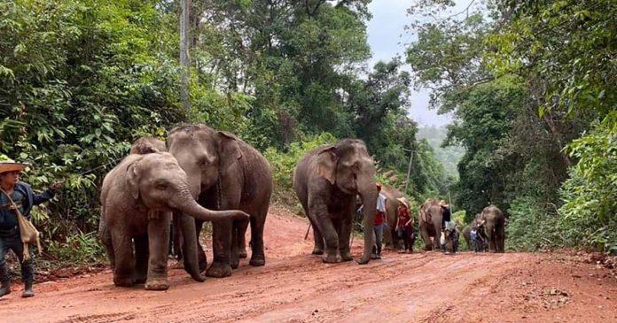 Elefantes tailandeses devueltos a su hábitat