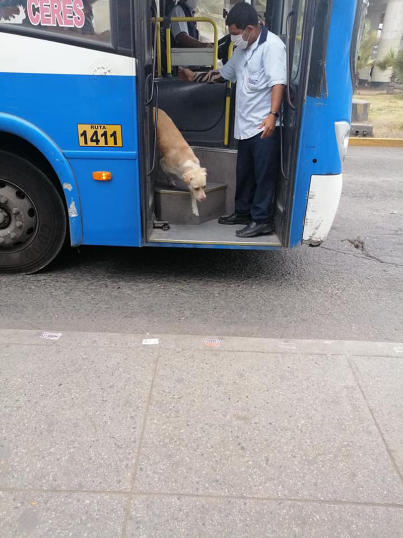 Gringo en buses