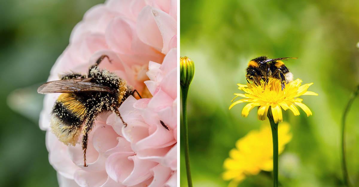 Los abejorros muerden las plantas para que florezcan