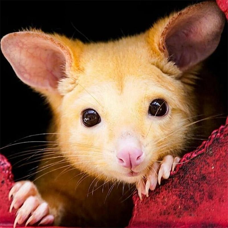 Marsupial amarillo