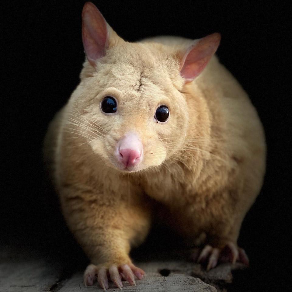 Marsupial oro
