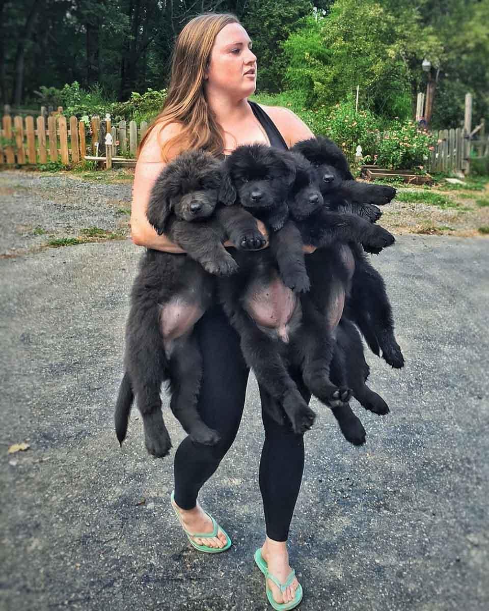 Mujer carga a sus grandes perros