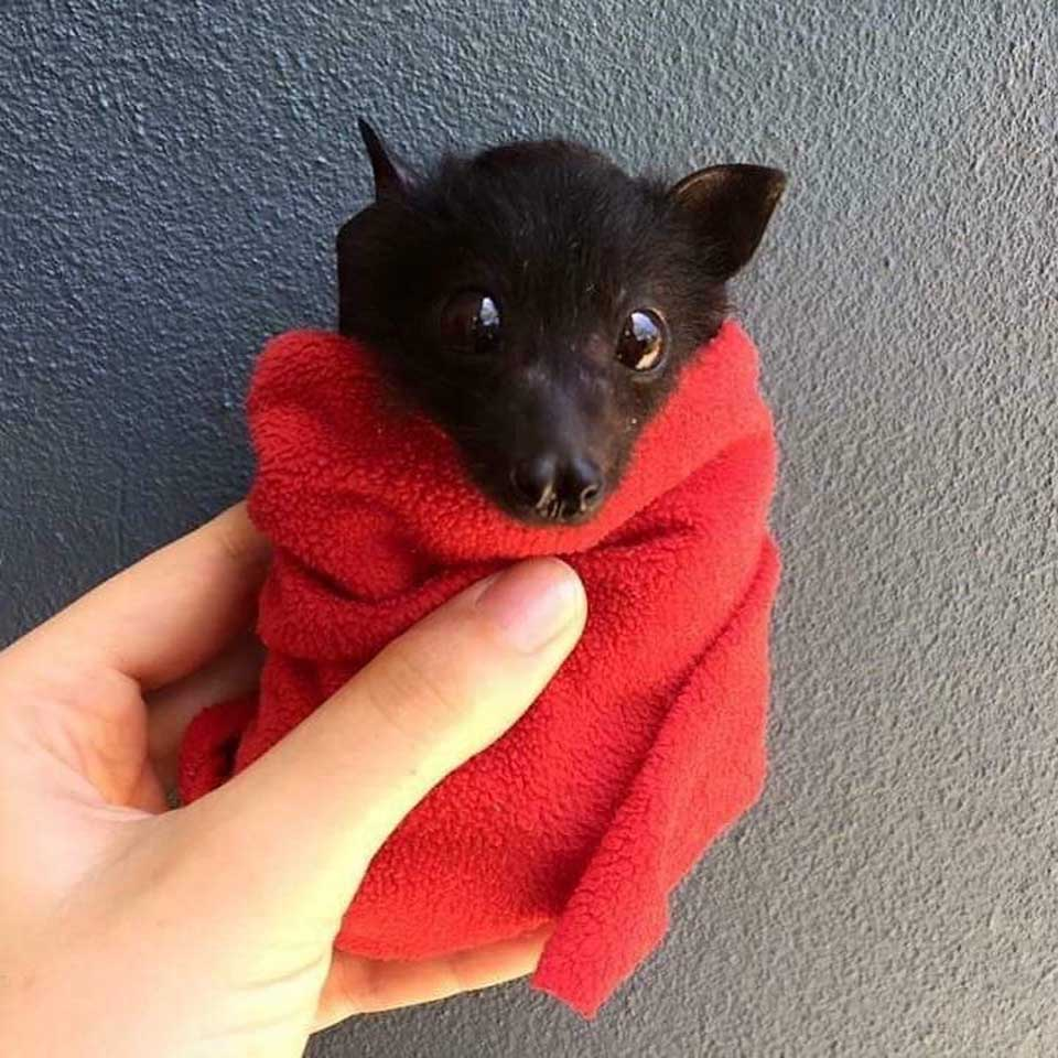 Murciélago con toalla roja