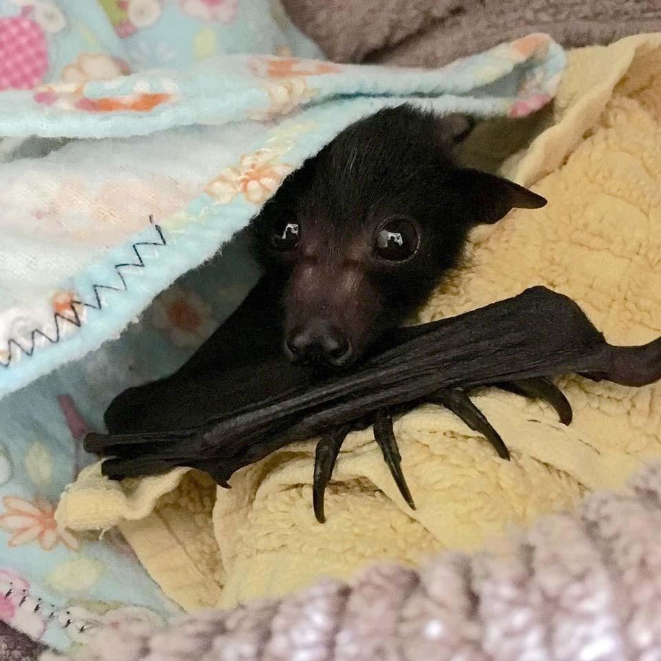 Murciélago muestra su ala