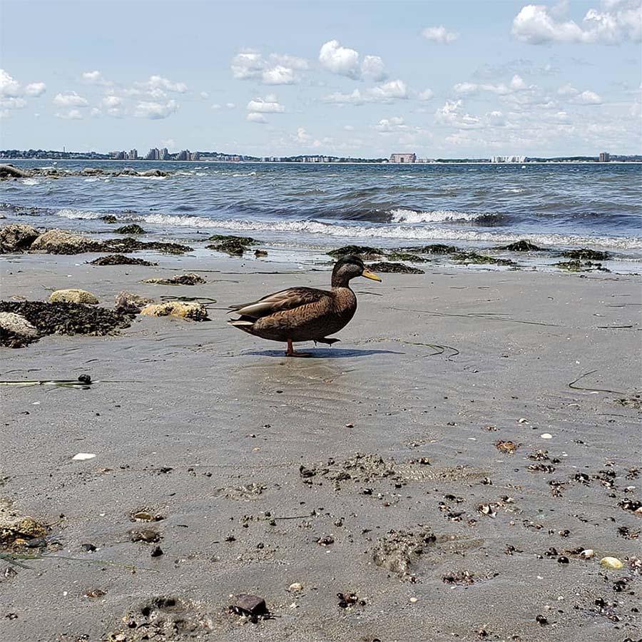 Pato playa