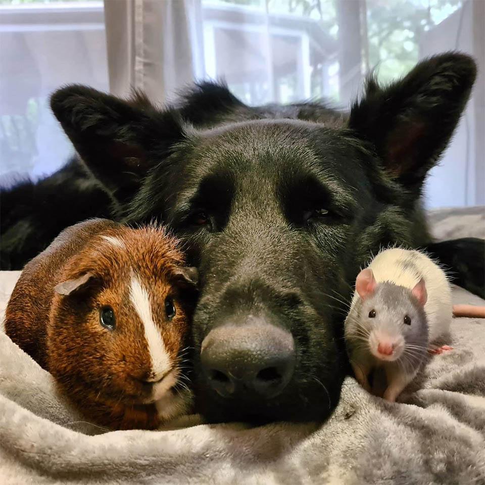 Pequeña rata hermanos