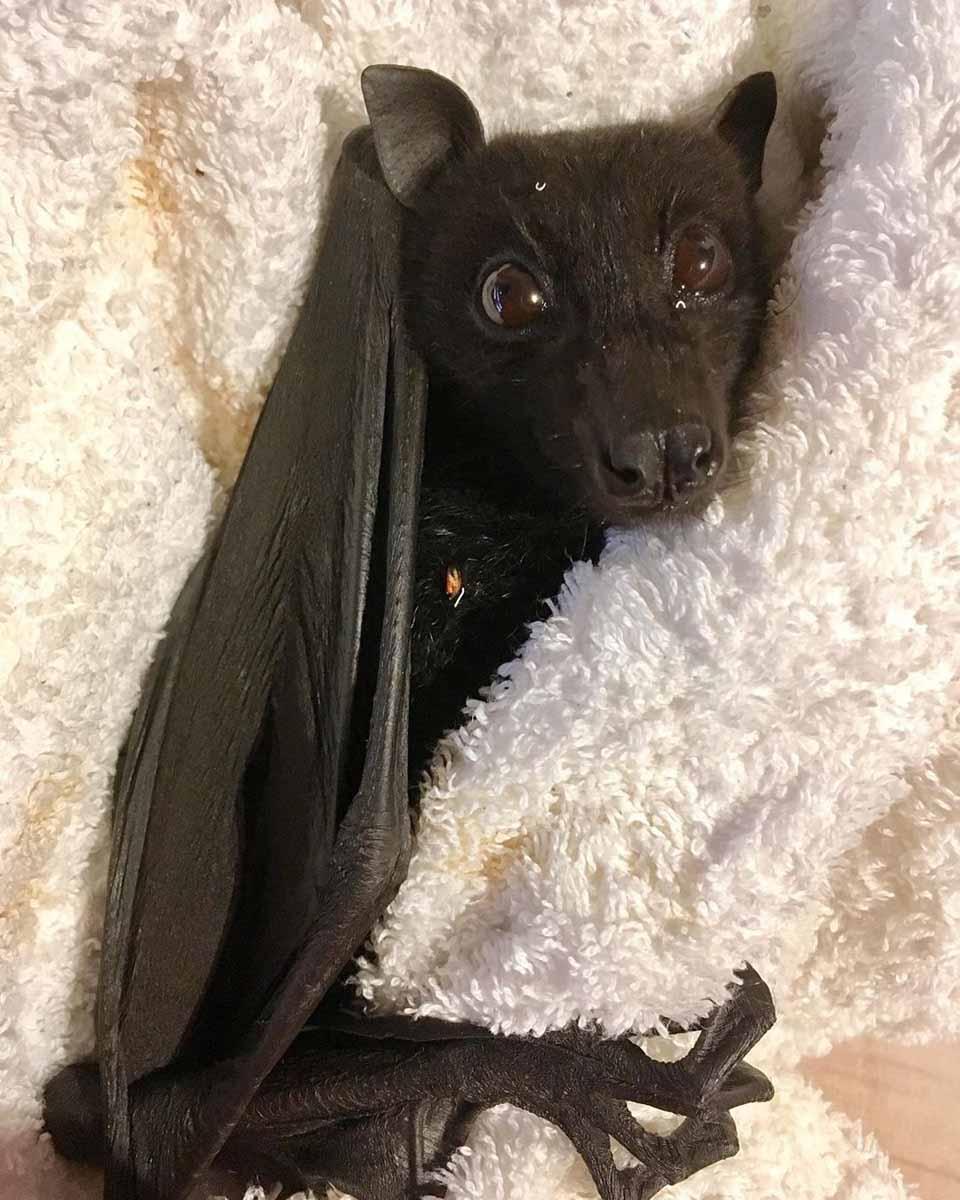 Pequeño murciélago