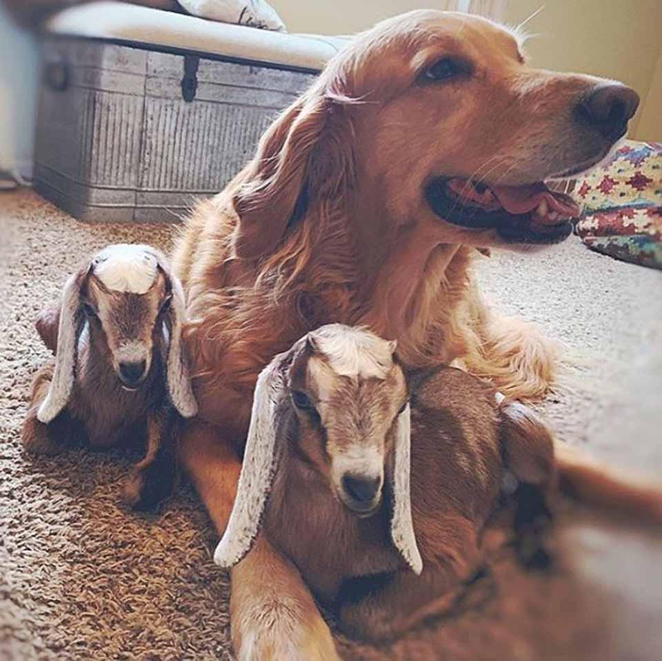 Perrita con dos pequeñas cabras