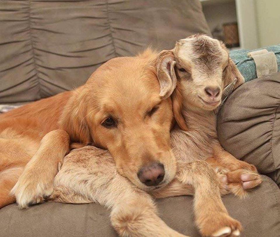 Perrita y pequeña cabra