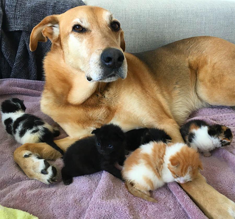 Perro cuida gatitos