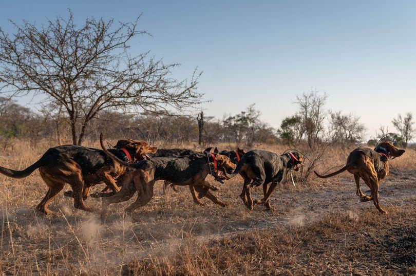 Perros entrenados África