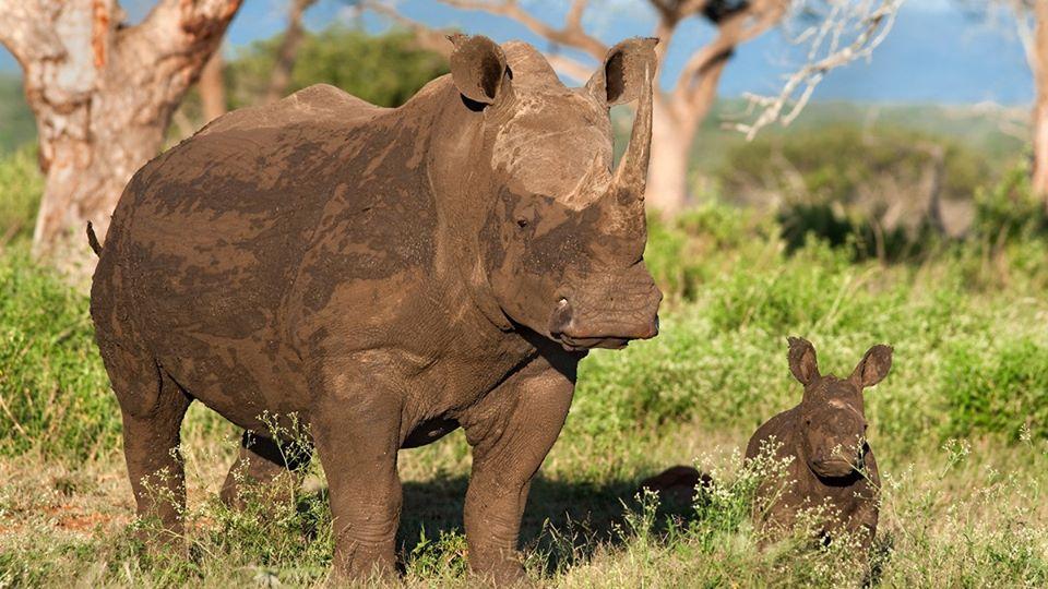 Rinocerontes África