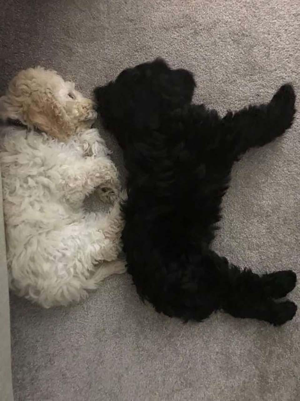 cachorritos toman siesta