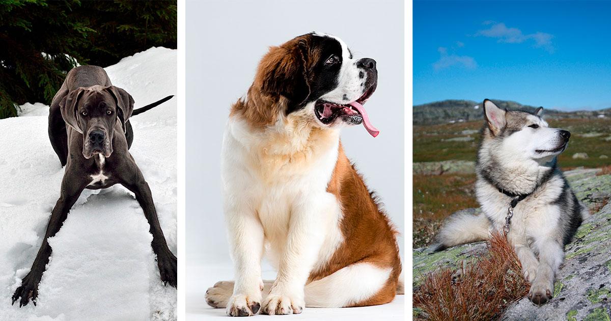 Foto de un gran danés, un san bernardo y un alaskan malamute