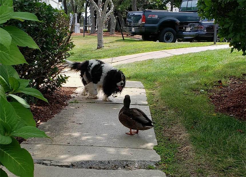 Pato y perro