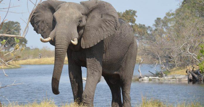 Elefanta embarazada muere comer explosivos