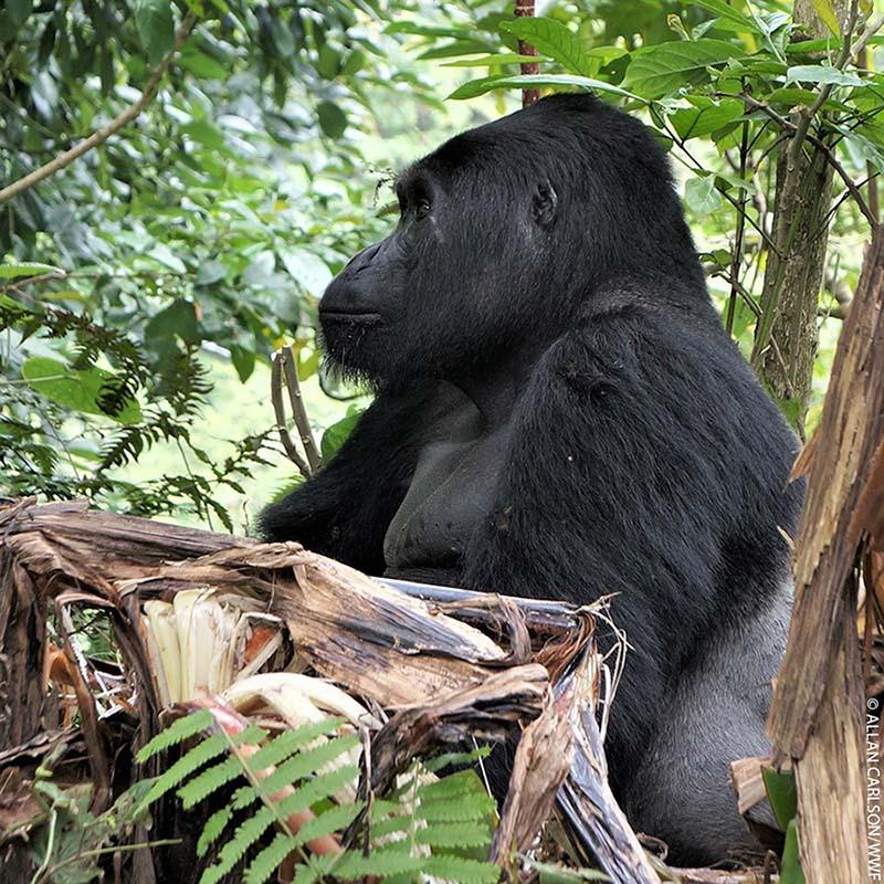 Famoso gorila Rafiki