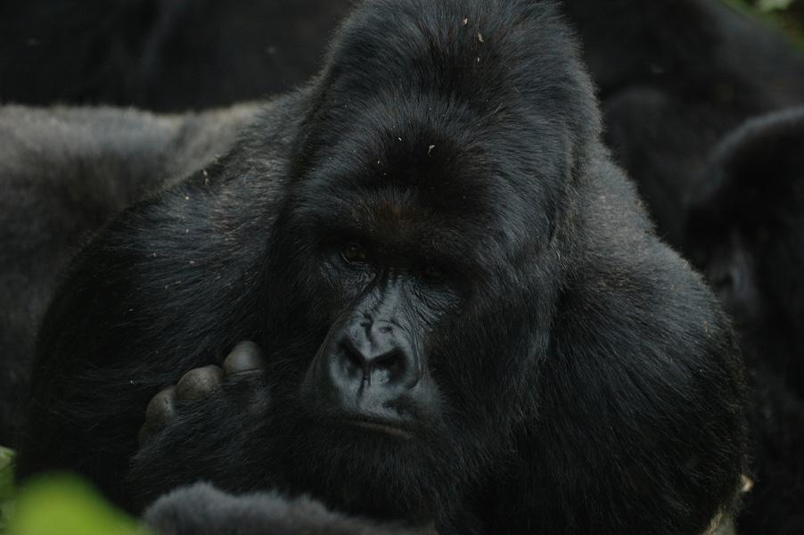 Famoso gorila asesinado