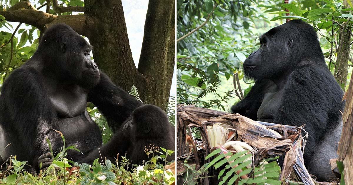 Famoso gorila de espalda plateada de Uganda es asesinado