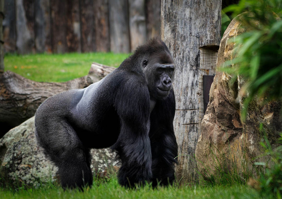 Primate jefe
