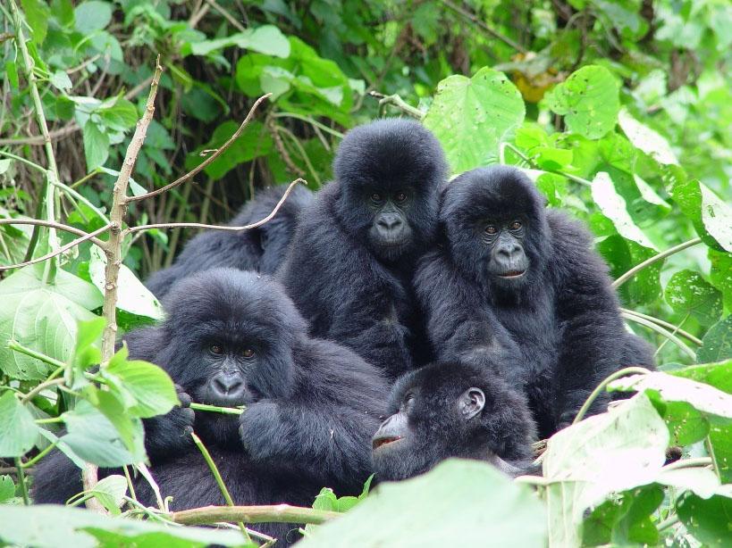 Gorilas familia