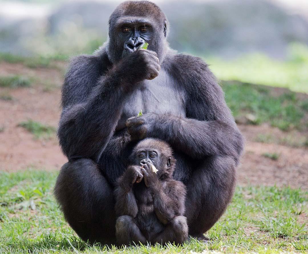 Madre simio