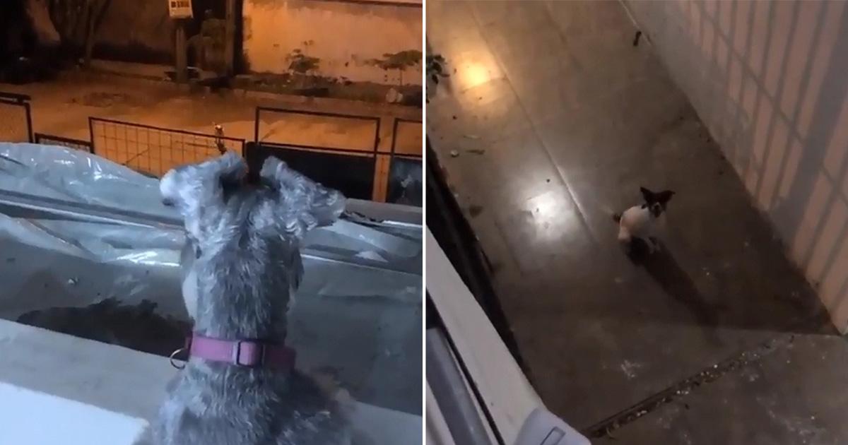 Perro Romeo se escapa para visitar a su amor